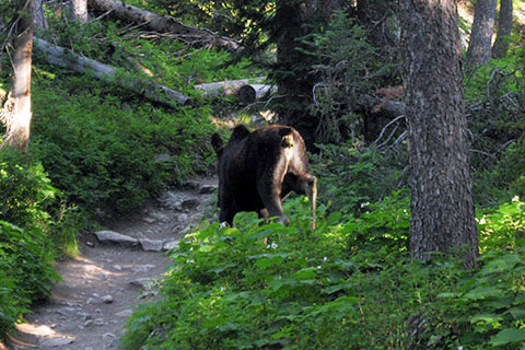 Moose on the Jenny Lake Trail