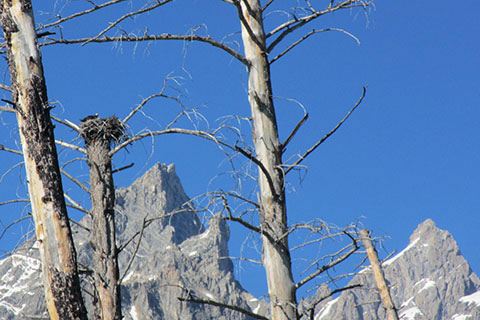 Cathedral Peaks in the view of an Osprey nest